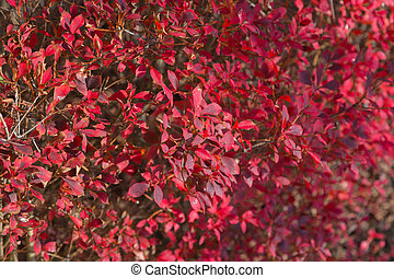 Red leaves during Autumn season