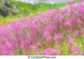 Fluffy pink fireweed flowers Defocused blur shot