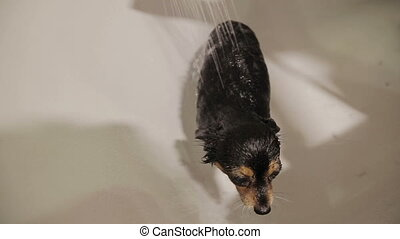 Moscow Toy Terrier Bathing