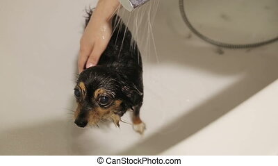 Bathing the Dog - funny moscow toy terrier  bathing