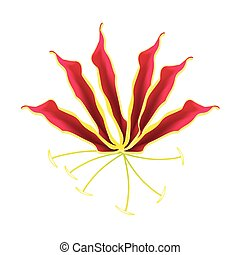 Flame Lily or Gloriosa Superba Flower on White Background -...