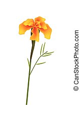 Orange French Marigold Flower on White Background - Symbol...