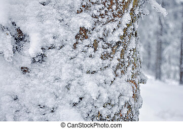 Frost on Pine  tree trunk
