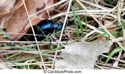 beautiful large iridescent beetle - beautiful big black...