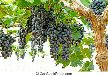 bunch of grape with green leave in the garden