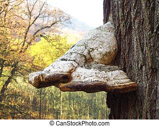 tinder fungus - big gray tinder fungus growing on the trunk...