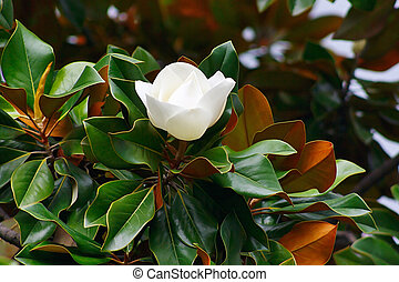 Beautiful tropical magnolia flower among leaves - Beautiful...