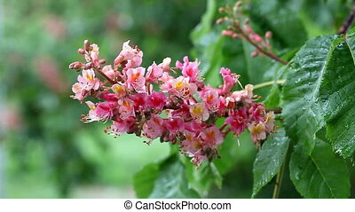 a beautiful pink flowering chestnut HD