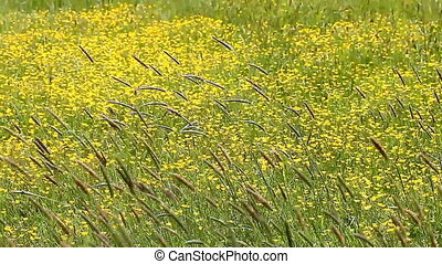 beautiful blooming yellow fields with spikelets HD