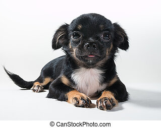 Long-Haired Chihuahua puppy on white background