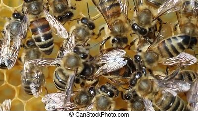 Queen bee lays eggs in the cell