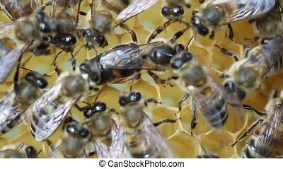 Queen bee lays eggs in the cell - Queen bee is always...