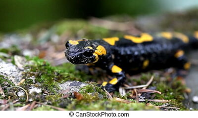 Salamander in the Wild - newt in the wild close-up