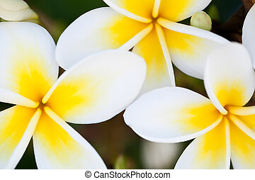 Frangipani - Loseup shot of three yellow frangipani flowers.