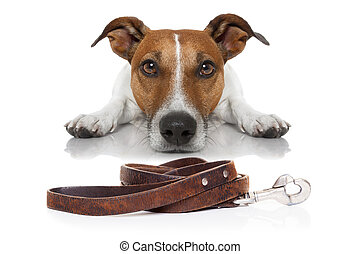 dog with leash - jack russell dog waiting for a walk with...