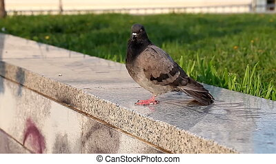 One pigeon in the city HD