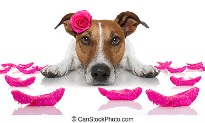 valentines love sick dog - jack russell dog looking and...