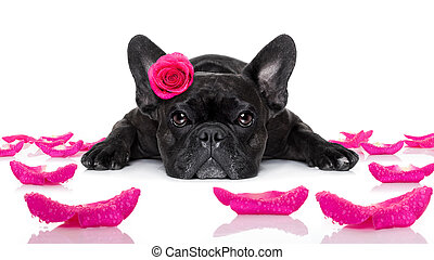 valentines love sick dog - french bulldog dog looking and...