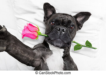 valentines day dog selfie - french bulldog dog looking and...