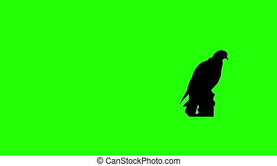 Dove Chroma Key - Pigeon sitting against green screen...