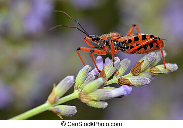 Assassin bug on lavender - Macro of black and red assassin...