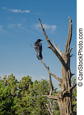 Raven in Tree - A black raven perched in a barren tree in a...