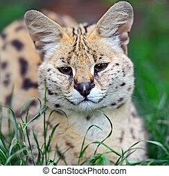 Serval Tsavo Park - Serval natsionalnm in Tsavo Park in...