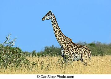 Giraffe in the African savannah - Giraffe in the savannah...