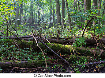 Old moss wrapped spruce tree lying in deciduous stand - Old...