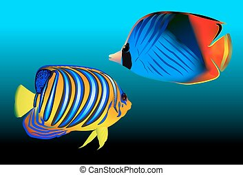Royal angelfish Pygoplites diacanthus