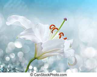 Lily flower on background with bokeh effects. - White lily...