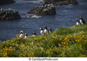 Icelandic puffins at remote islands, Iceland, summer, 2015 -...