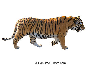 the Amur tiger - the big Amur tiger on a white background