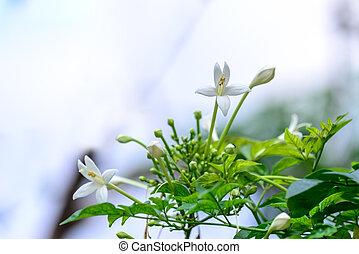 Millingtonia hortensis, tree jasmine or Indian cork tree