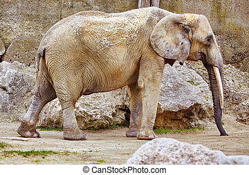 Large Indian elephants its natural habitat