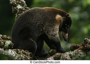 Coati - White-nosed Coati in tree