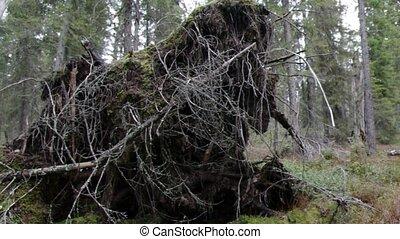 Broken tree roots