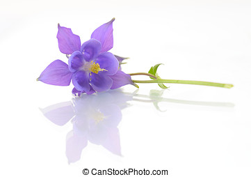 Campanula flower isolated on white backround - Campanula...