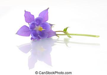 Campanula flower isolated on white backround - Campanula...
