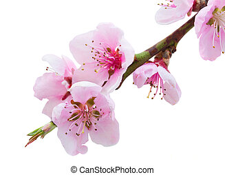 Cherry tree twig - Cherry tree branch with blooming pink...