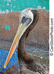 Brown Pelican Paracas National Reserve, Peru - Adult Brown...