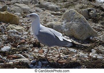 Sea mew on coast - Sea gull on the shore, close-up, clear...