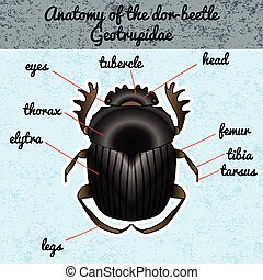 Insect anatomy Sticker Geotrupidae dor-beetle Sketch of...