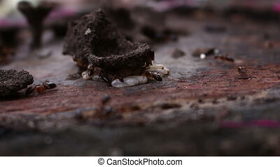 ants carrying their eggs to safety - closeup ants carrying...