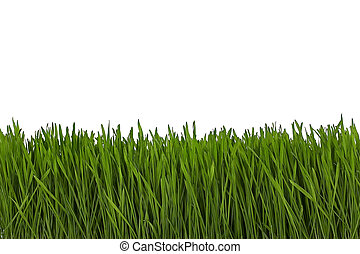 wheat grass closeup on white background