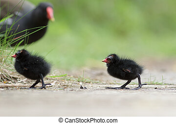 Common Moorhen Gallinula chloropus with young family - A...
