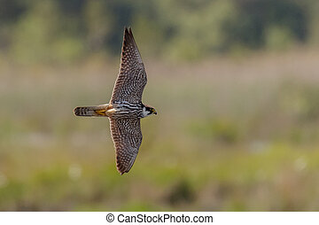 Hobby - A Hobby banking hard over the heathland