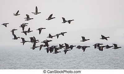 Brent Geese flying across the sea on a grey day, going left...