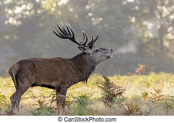 Red Deer Stag - Red Deer stag roaring on a chilly morning.