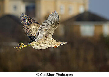 Bittern - A Bittern Botaurus stellaris doing a fly past on...